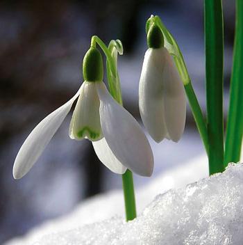 snowdrops_27277635