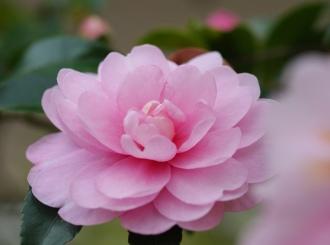 Camellia sasanqua 2
