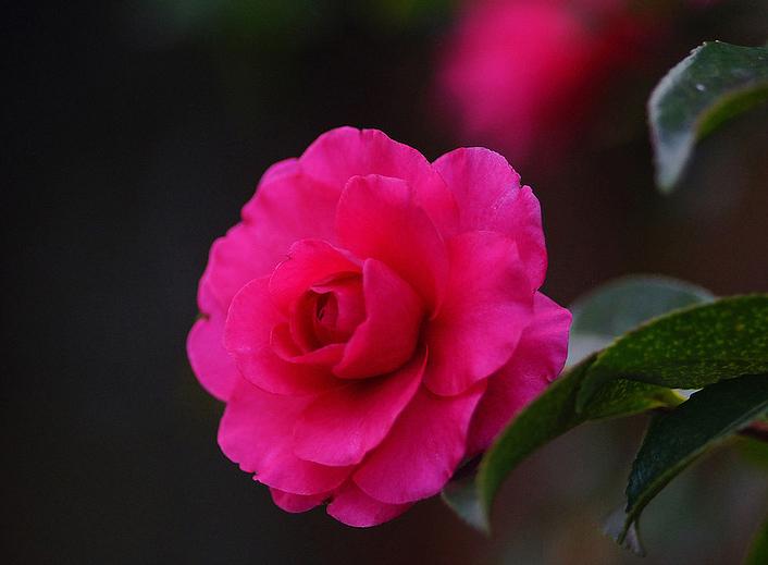Camellia sasanqua3