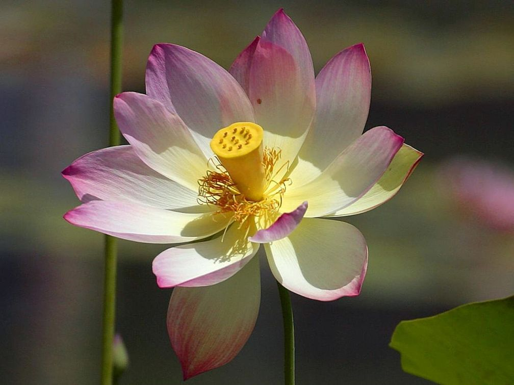 Lillies_lilly_lotus_flowers